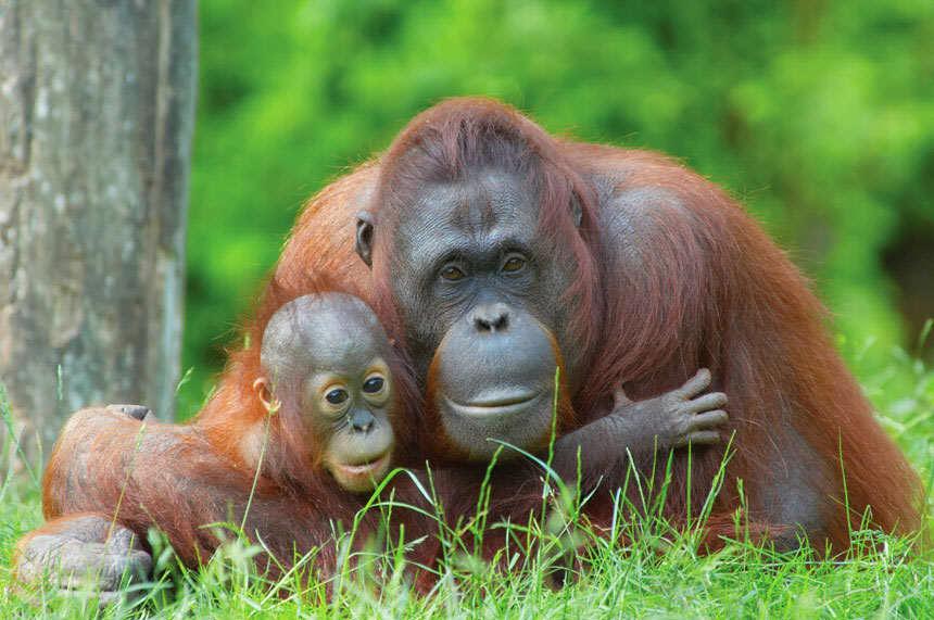 Orangutan Banda Aceh