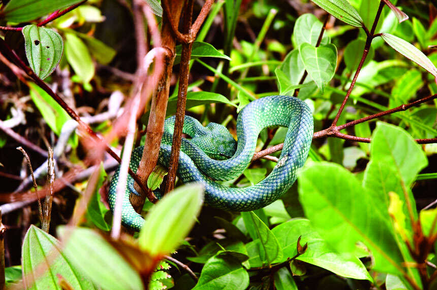 Sandakan Jungle Viper