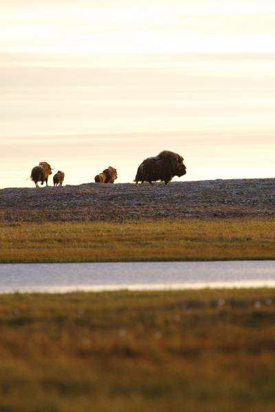 tundra oxen