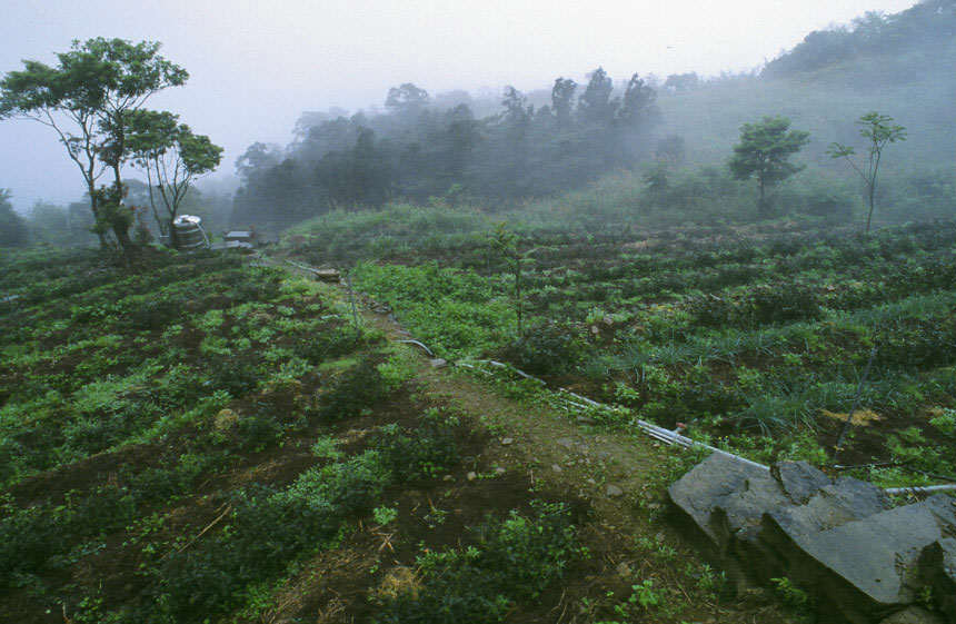 Foggy Tea Fields
