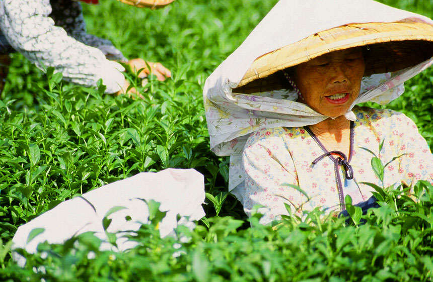 Woman Picking Tea