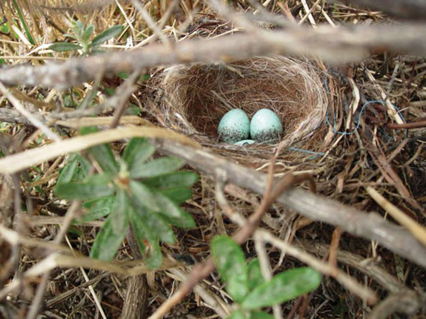 The nest of a Patagonian sierra-finch.