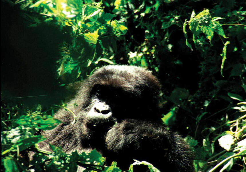 ●Malaria in the Western Lowland Gorilla is thought to have been the precursor for malaria in humans (though Simon's photos here depict mountain gorillas, the lowland's nearby cousin!). Malaria in the Western Lowland Gorilla is thought to have been the precursor for malaria in humans (though Simon's photos here depict mountain gorillas, the lowland's nearby cousin!).