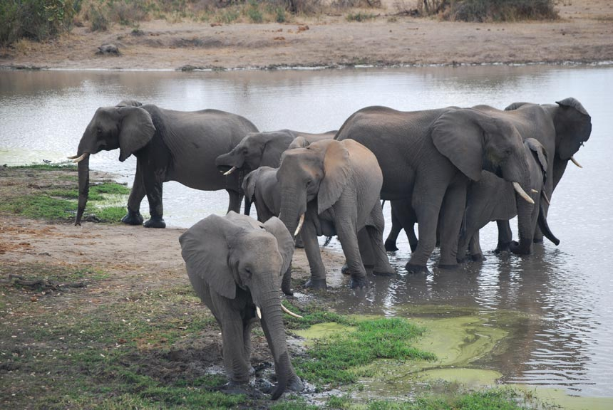 Elephant's in Kruger National Park South Africa