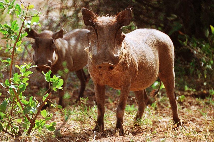 Warthog Family Africa