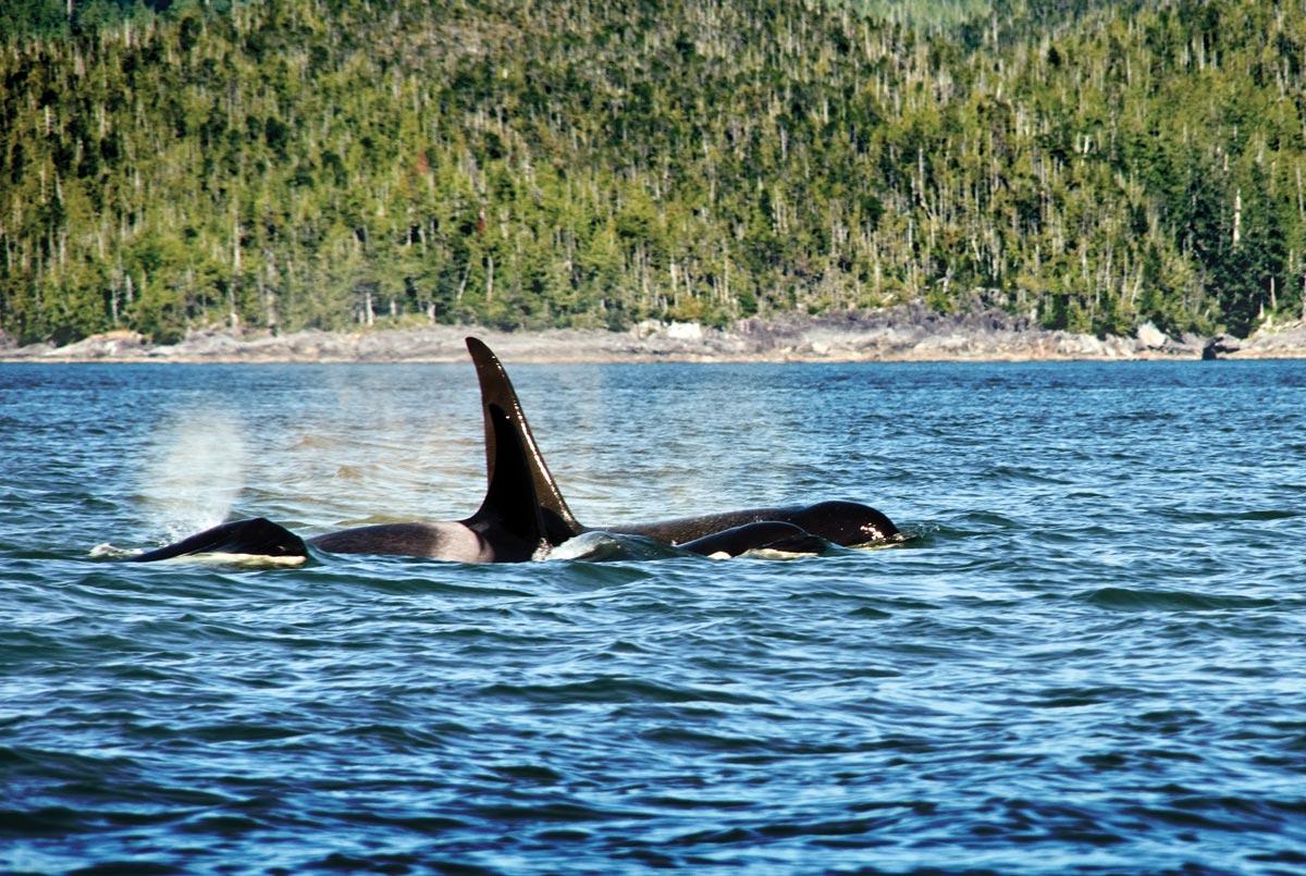 Swindle Island Whales