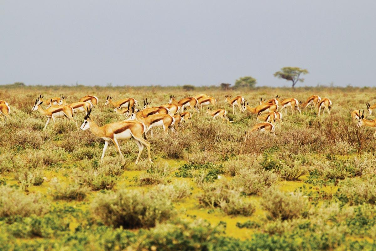 springbok antelope self drive safari namibia