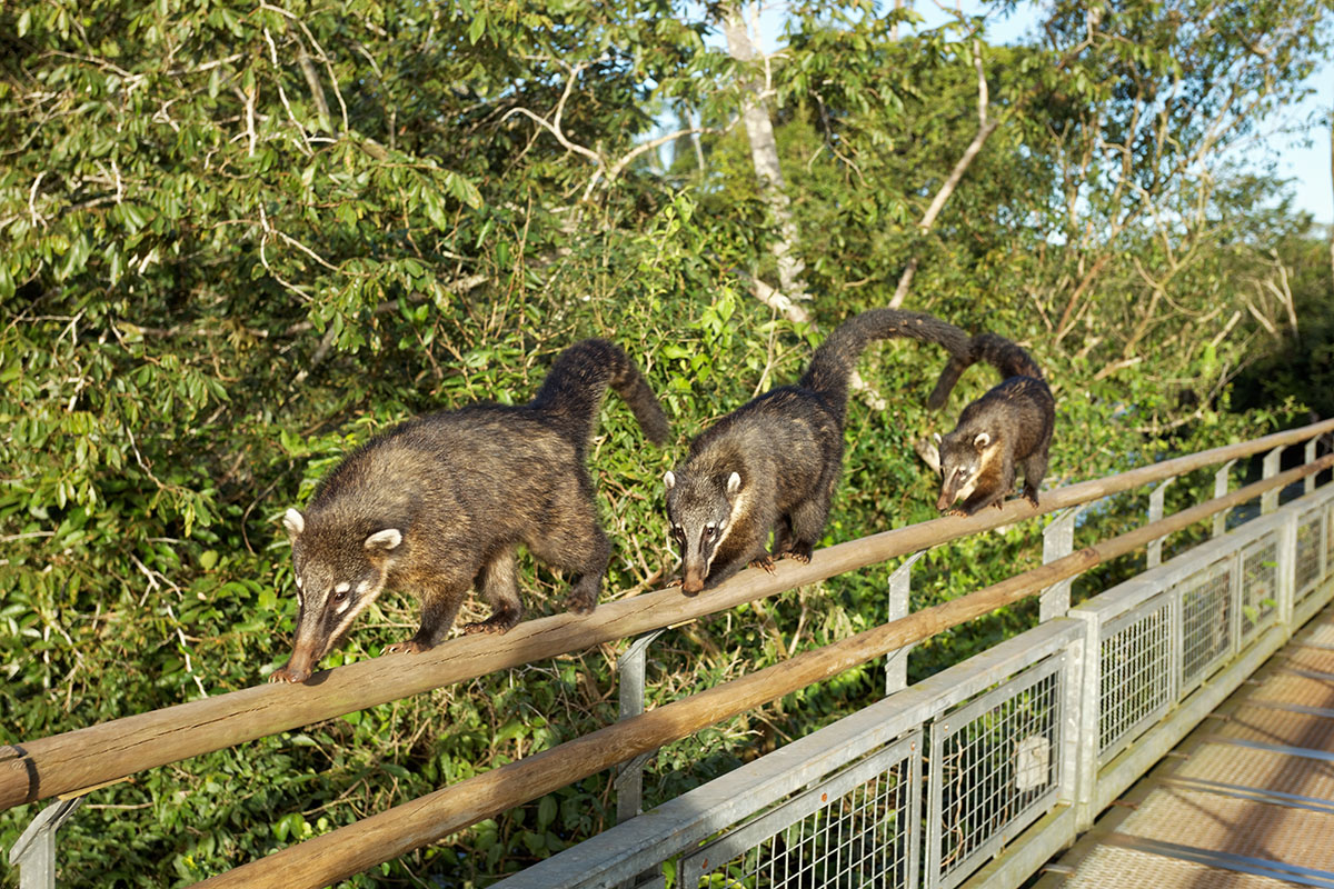 coatis iguazu falls photo