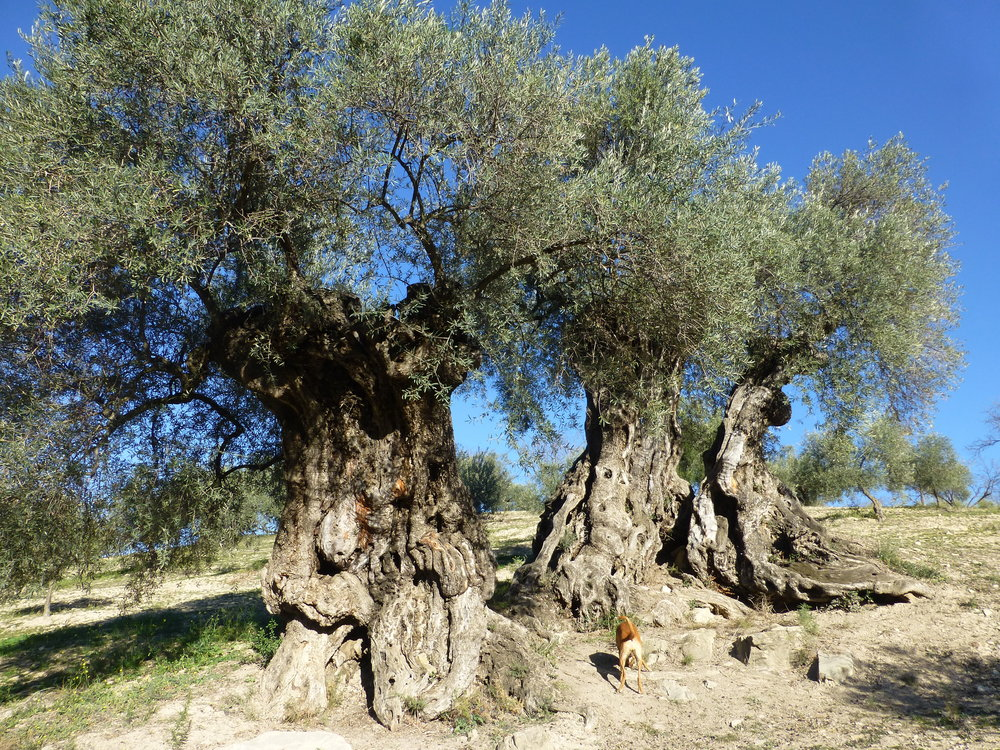 malaga spain olive tree tour