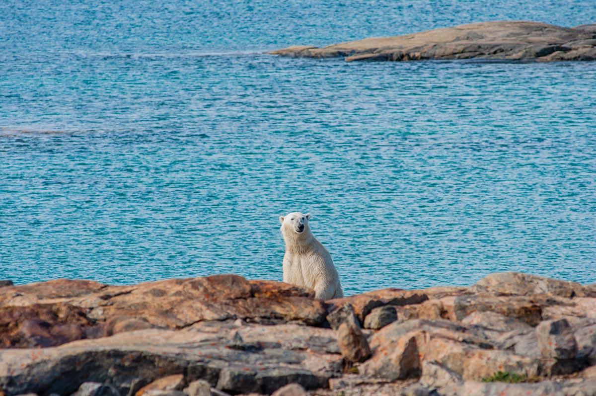 polar bear viewing nunavut
