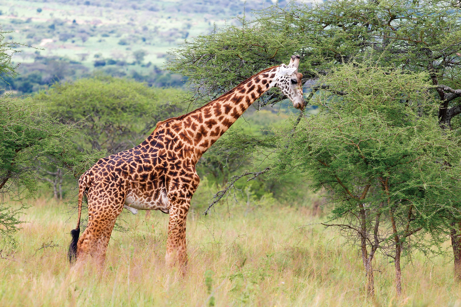 rwanda giraffe safari