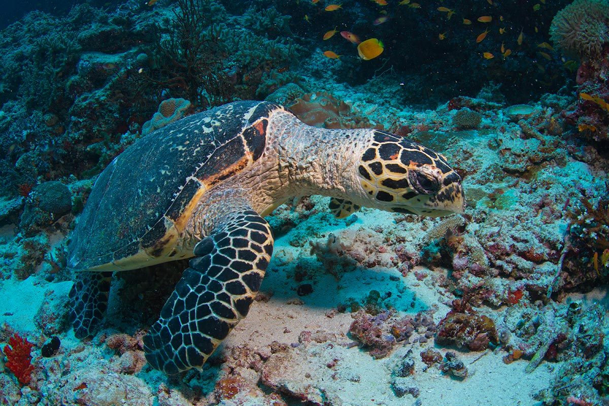 hawksbill turtle diving tips