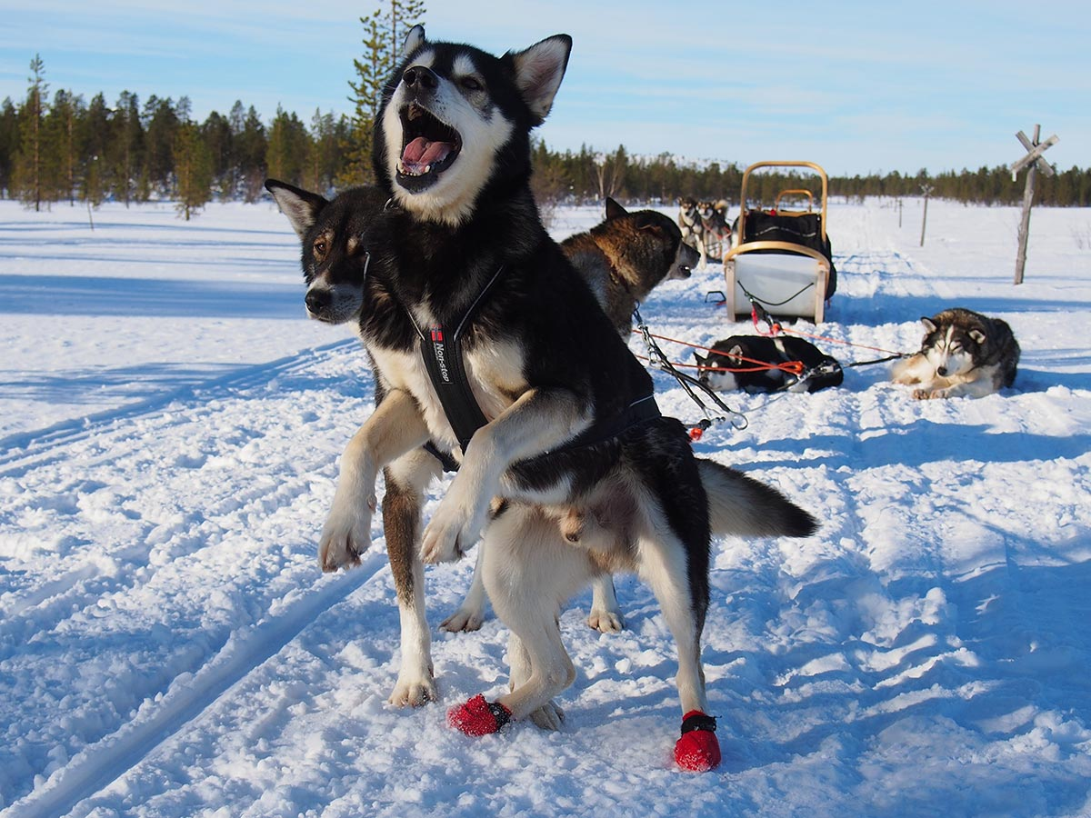 novice dogsled tourism