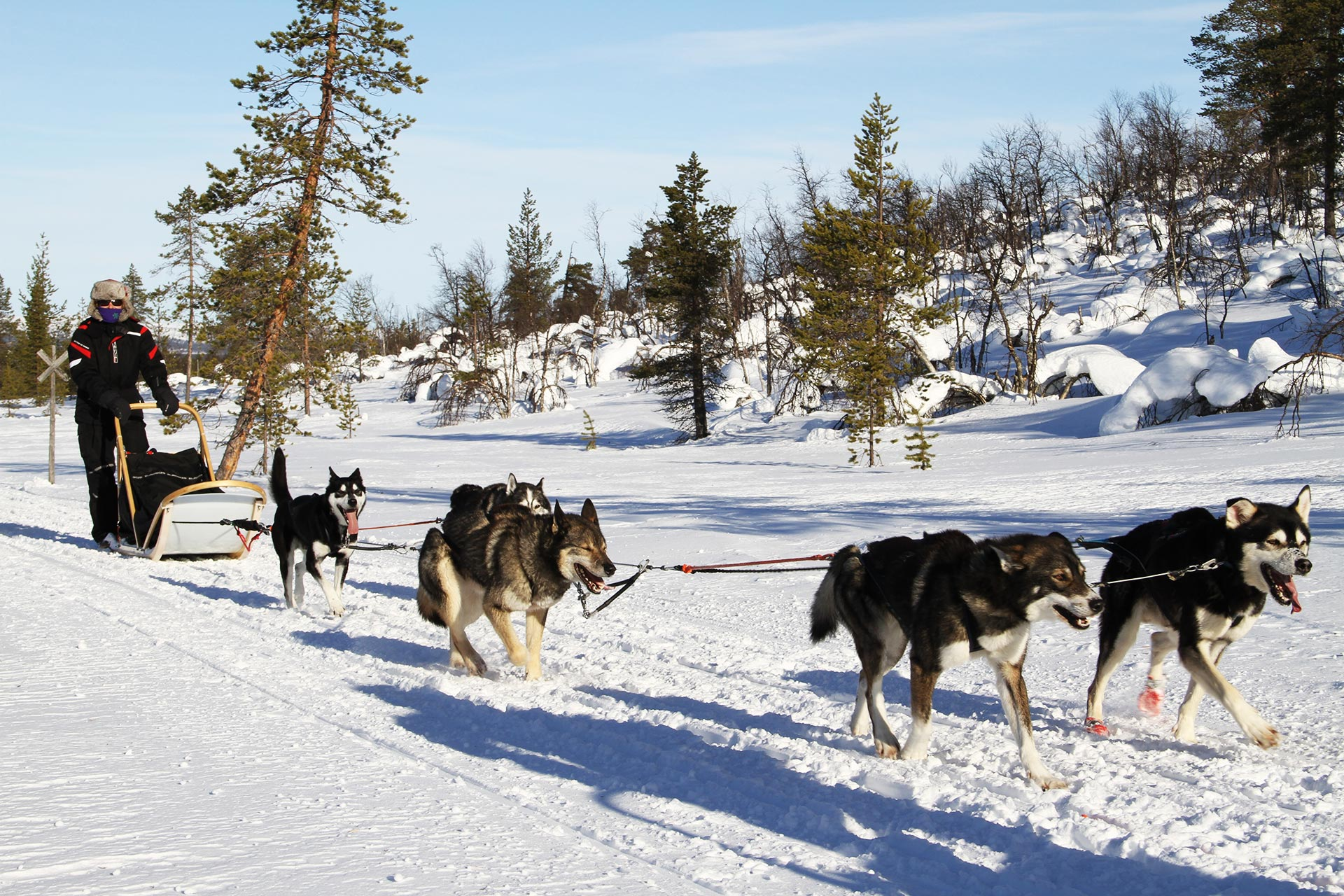finnish amateur dogsledding