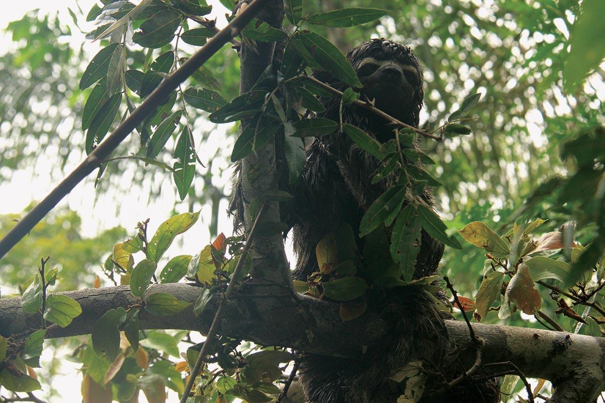 amazon sloth iquitos