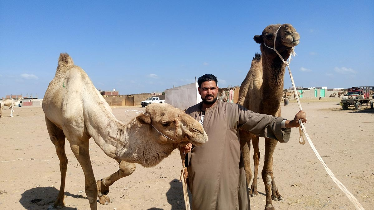 shalateen camel market