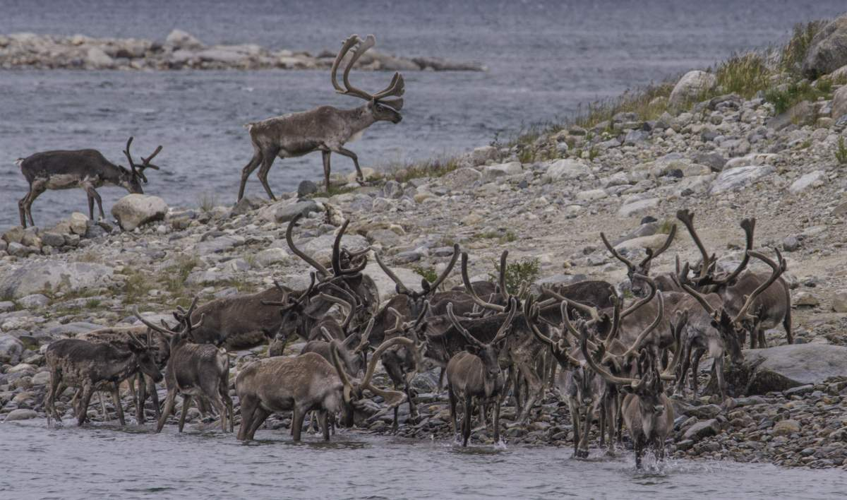 https://outpostmagazine.com Caribou herd crossing river Nunavik _ Great Canadian Wildlife Advenutres